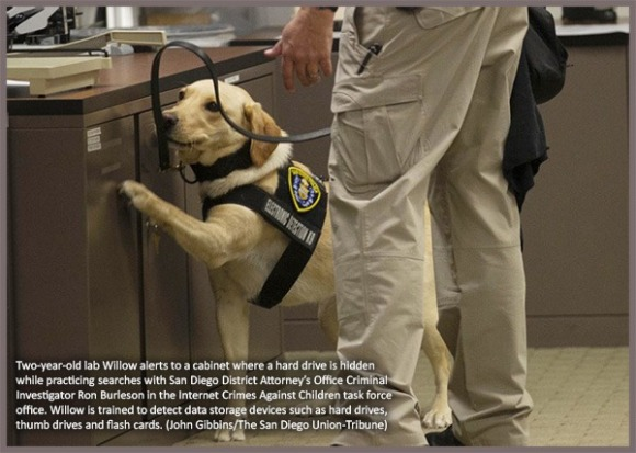Two-year-old lab Willow alerts to a cabinet where a hard drive is hidden while practicing searches with San Diego District Attorney's Office Criminal Investigator Ron Burleson in the Internet Crimes Against Children task force office. Willow is trained to detect data storage devices such as hard drives, thumb drives and flash cards. (John Gibbins/The San Diego Union-Tribune)